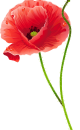 kisspng-common-poppy-cut-flowers-poppies-5adc72ed789416.6145499815243967814939