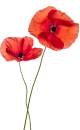 kisspng-common-poppy-flower-stock-photography-remembrance-red-flower-pattern-5aa9eb4d111b34.3812312415210852610701