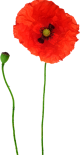 kisspng-opium-poppy-flower-red-poppy-5ac0edb0ad3721.2222971115225932007095
